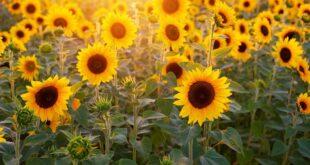 تعبیر خواب آفتاب گردان , dalpari.com